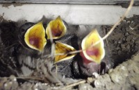2015_0118_NL_hungry_baby_birds