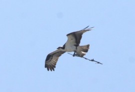 One of the ospreys carries a small branch back to its new home. Photo: Peter Blasl